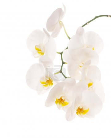 Photo for White tender orchid flowers isolated on white background - Royalty Free Image