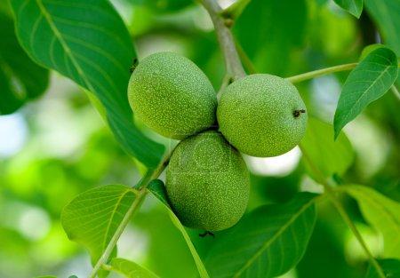 Walnuts on a tree