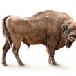 European bison isolated on white background...