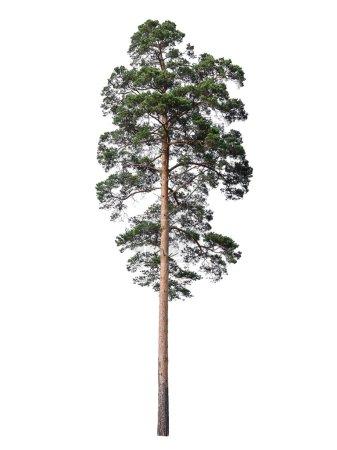 Photo pour Haut pin ramifié isolé sur fond blanc - image libre de droit