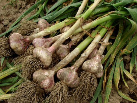 Photo for Some garlic bulbs with tops on the ground - Royalty Free Image