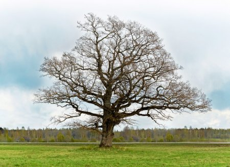 Photo for Old lonely tree - Royalty Free Image