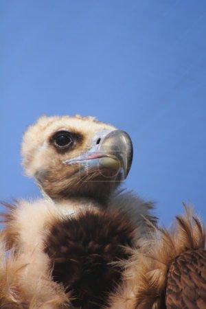 Vulture. Zoo.
