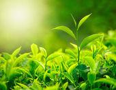 """Постер, картина, фотообои """"Tea bud and leaves"""""""