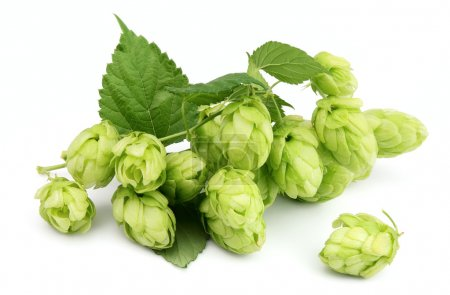 Blossoming hop