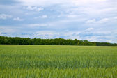 Summer landscape with green field