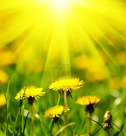 Photo for Dandelion field. Shallow deep of field. - Royalty Free Image