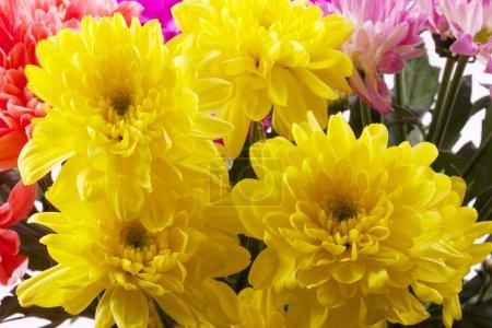 Photo pour Beauté chrysanthème coloré - image libre de droit
