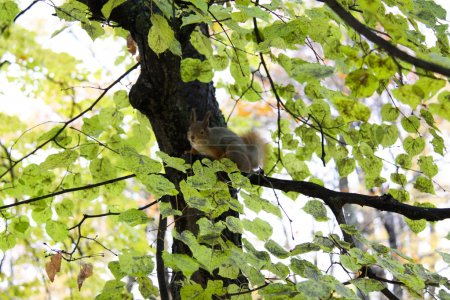 Brown squirrel
