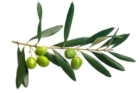 Photo pour Branche d'olives vertes isolées sur fond blanc - image libre de droit