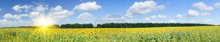 Photo for Wonderful panoramic view field of sunflowers by summertime. - Royalty Free Image