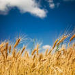 Golden, ripe wheat in the blue sky background....