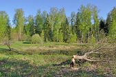 Träd skära ner av en bäver