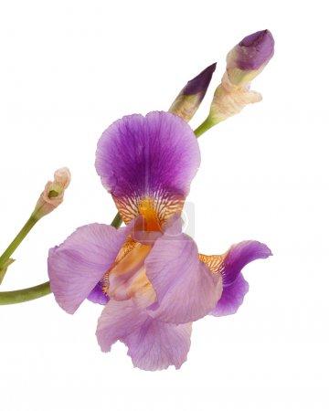 Beautiful purple iris flower isolated on white background