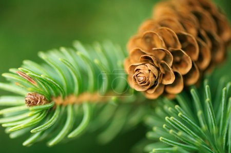 Pine Cone And Branches
