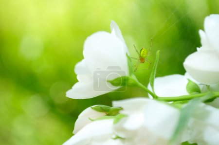Photo for A tiny green spider on a beautiful white jasmine flower - Royalty Free Image