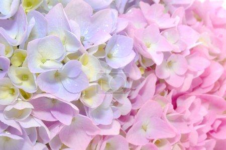 Foto de Un primer plano de las flores de hortensias púrpura y Rosa hermosa - Imagen libre de derechos