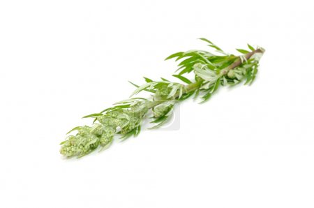 Common Wormwood (Artemisia Vulgaris)