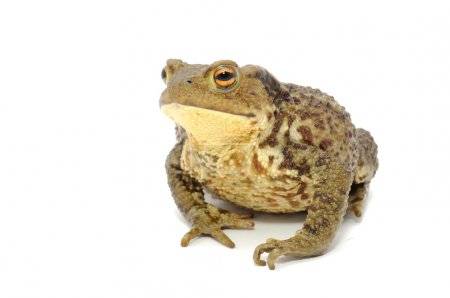 A large toad isolated on a white background...