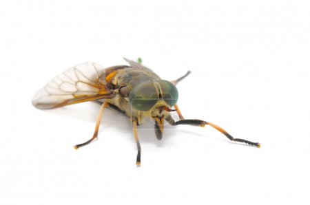 A close-up of botfly (horse fly) isolated on white...