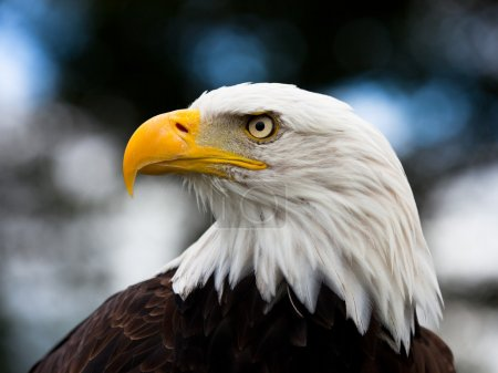 Bald Headed Eagle, close up shot with blurred back...