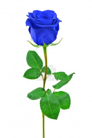 Photo for Blue rose - isolated on white background - Royalty Free Image