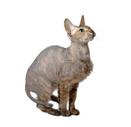 Hairless oriental cat