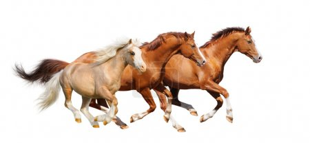 Three sorrel horses gallop - isolated on white