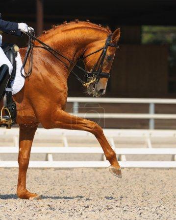 Photo pour Dressage : portrait de cheval oseille sur fond de nature - image libre de droit