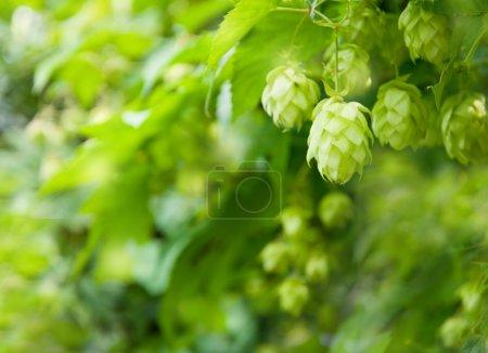 Hops background