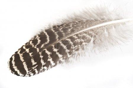 Photo pour Fond avec plume d'un paon - image libre de droit