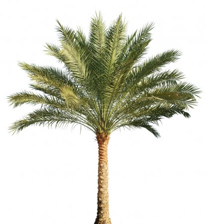Photo for Palm tree isolated on white background - Royalty Free Image