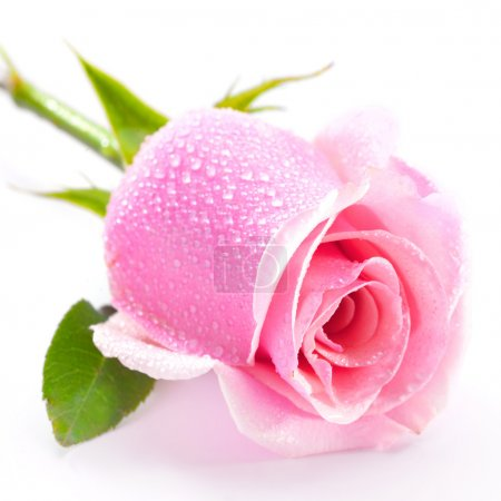 Beautiful pink rose isolated on white background...