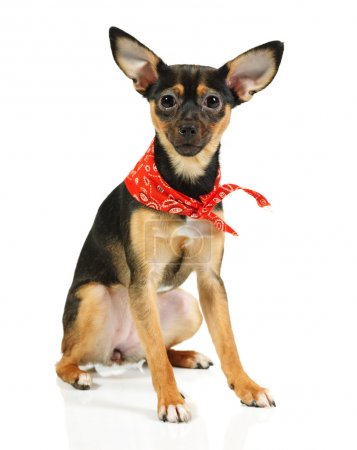 Toy terrier dog looking up
