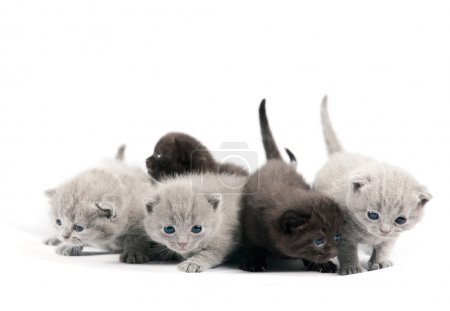 Five british kittens