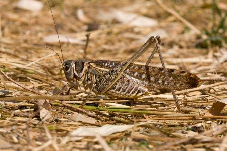 Photo pour Série nature : sauterelle brune, sauterelles sur l'habitat - image libre de droit