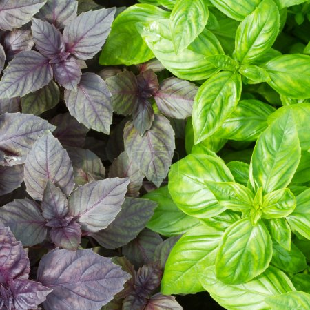 Photo for Fresh green basil leaves closeup - Royalty Free Image