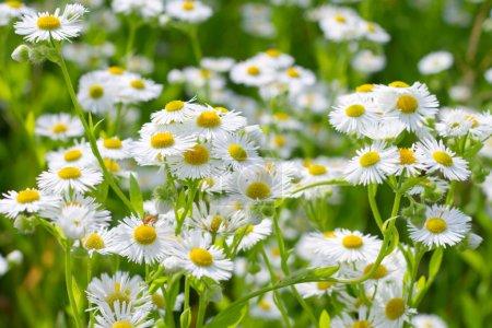 Beautiful sunny chamomile flowers close-up