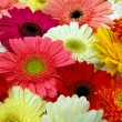 Rear view of pink yellow red gerbera daisy flowers...