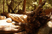 Green tall sequoia tree logs