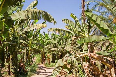 Photo pour Plantation de palmiers bananiers en Egypte - image libre de droit