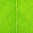 The green leaf of a lilac macro...