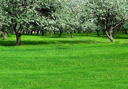 Photo pour Jardin de pommiers en fleurs au printemps - image libre de droit