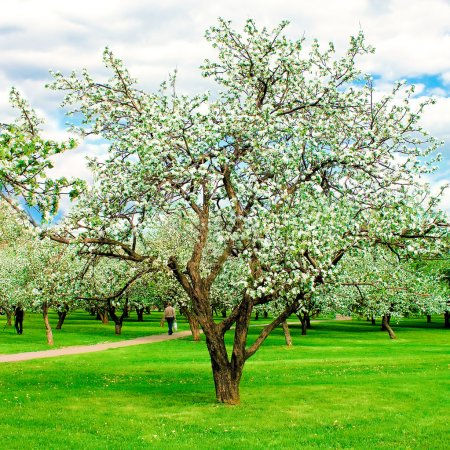 Apple forest in springtime, beautiful blooming woodland
