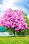Flowering of cherry tree in springtime