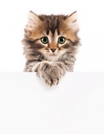 Kitten with blank