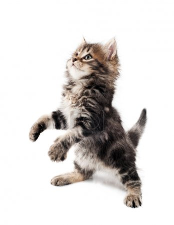 Photo for Cute little Siberian kitten isolated on white background - Royalty Free Image