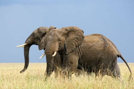 Running african elephants