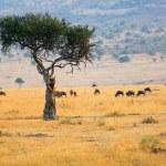 Tree and wildebeest antelopes in the savannah Masa...