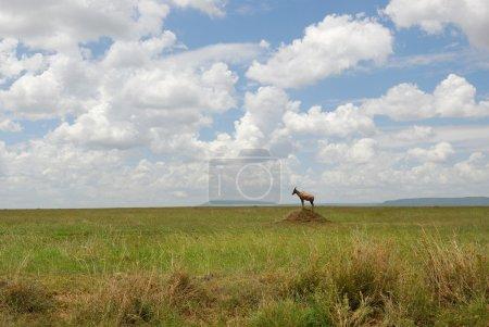 Photo pour Paysage de prairies africaines avec topi antilope - image libre de droit
